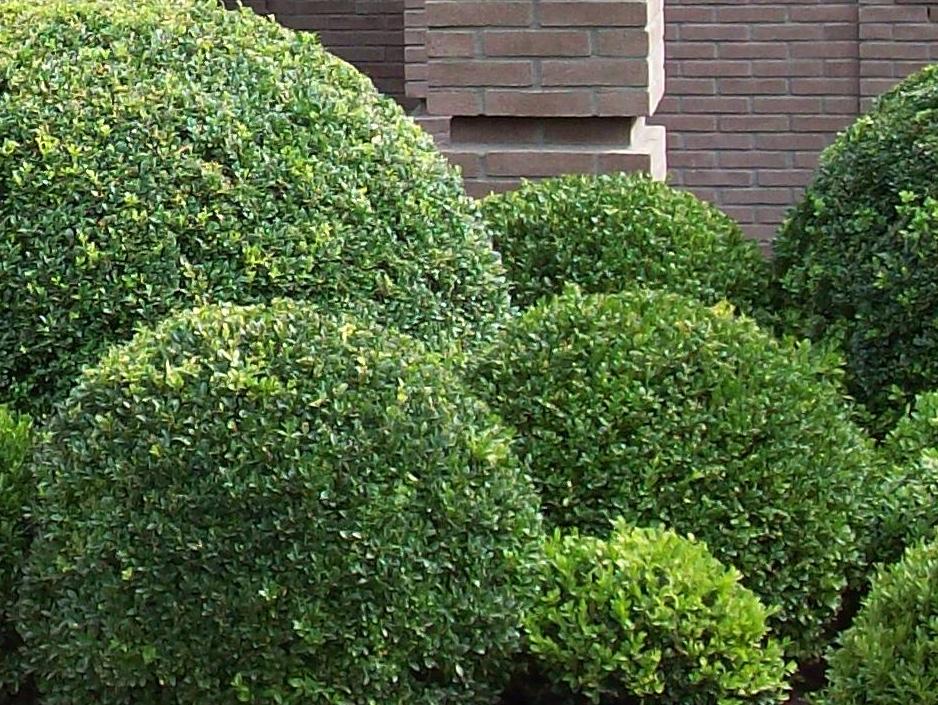 Tuinonderhoud Buxus Snoeien